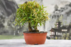 Beautiful Twin Trunk Shohin WILLOW LEAF FICUS Pre Bonsai tree