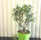 Fat European fruiting Olive for mame shohin bonsai tree thick trunk 12