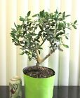 Fat European fruiting Olive for mame shohin bonsai tree thick trunk 6