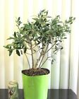 Fat European fruiting Olive for mame shohin bonsai tree forest grove style