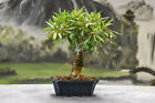 Beautiful Shohin WILLOW LEAF FICUS Bonsai with aerial roots