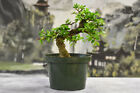 Gorgeous Shohin CHINESE ELM Pre Bonsai Tree thats cold hardy