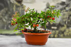 Blooming and Fruiting DWARF BARBADOS CHERRY Pre Bonsai Awesome nebari and fruit