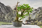 Gorgeous collected BUTTONWOOD Pre Bonsai Tree with nice jin