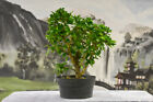 Lovely TINTILLO Pre Bonsai Tree with great canopy
