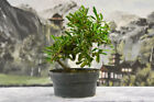 Cold Hardy FIRETHORN Pre Bonsai Tree with great trunk movement