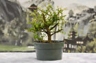 Lovely Shohin NEEA Nia Pre Bonsai Tree with very tiny leaves great for bonsai