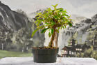 Gorgeous DWARF AFRICAN STRANGLER FIG Pre Bonsai Tree