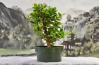 Beautiful GREEN ISLAND FICUS Pre Bonsai Tree with ornamental figs