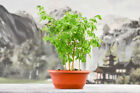 Gorgeous SHOHIN BRAZILIAN RAINTREE FOREST Pre Bonsai Tree