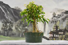 Awesome FICUS PHILIPPINENSIS Pre Bonsai Tree with lots of aerial roots