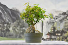 Awesome FICUS PHILIPPINENSIS Pre Bonsai Tree Great for Banyan Bonsai
