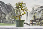 Gorgeous Twisted Trunk IMPORT CHINESE ELM Pre Bonsai Tree thats cold hardy