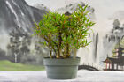 Forest Planting WILLOW LEAF FICUS pre Bonsai Tree Easy Indoors
