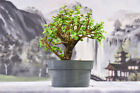 Very Hardy DWARF JADE Pre Bonsai Tree that is Great Shohin Material