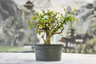 Shohin CHINESE ELM Pre Bonsai Tree Cold Hardy Ships safely in winter