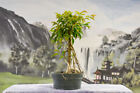 Nice Aerial Roots on FICUS PHILIPPINENSIS Pre Bonsai Tree Great for Banyan