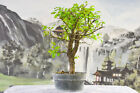 Awesome Collected TEXAS CEDAR ELM Pre Bonsai Tree is Cold Hardy w Gnarly Bark