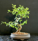 Sweet Plum Bonsai Tree 523