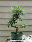 Bonsai Fukien Tea GREAT GIFT  LIVE TREE