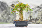 Shohin WILLOW LEAF FICUS Bonsai Tree with Aerial Roots Great for Beginners