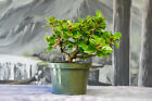 Shohin GREEN ISLAND FICUS Pre Bonsai Tree with Ornamental Figs