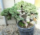 Huge Old Japanese Juniper for shohin mame bonsai tree thick trunk