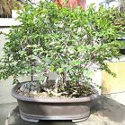 Chinese Catlin Elm for mame shohin bonsai tree forest grove style