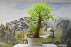 Large Trunk BALD CYPRESS Pre Bonsai Tree with Fresh New Growth