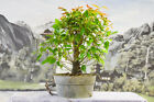 Red New Growth on THAI RED LEAF FIG Pre Bonsai Great for beginners
