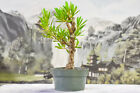 Unique NARROW LEAF BUTTONWOOD Pre Bonsai Tree