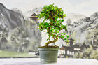 Flowering  Fruiting FUKIEN TEA Pre Bonsai Tree Great for Beginners