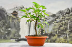 Unique DWARF MULBERRY Pre Bonsai Tree with Red Berries