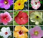 Beautiful Mixed Assorted Hibiscus Bonsai Mix Color Beautiful Flower 100 SEEDS