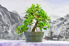 Gorgeous GREEN ISLAND FICUS Pre Bonsai Tree with Aerial Roots
