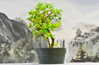 Vibrant DWARF BARBADOS CHERRY Pre Bonsai Tree Blooms Pink Flowers