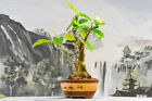 Unique Flowering PIGEON PLUM Bonsai Tree Hard to Find