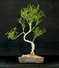 Old Serissa Bonsai Tree Flowers 732