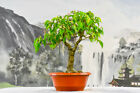 Aerial Roots Develop FICUS RIANNE Pre Bonsai Great for beginners and Indoors