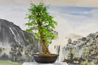 Large Trunk BALD CYPRESS Pre Bonsai Tree thats cold hardy