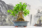 Fat Trunk on CUBAN LAUREL Bonsai Tree Can Grown Indoors or Outdoors