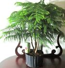 Big Norfolk Pine for mame shohin bonsai tree forest grove style 1