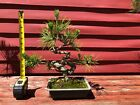 12 Japanese Black Pine Bonsai Tree