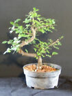 3 CHINESE ELM Pre Bonsai Tree Great Gift
