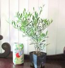 San Fernando Olive for mame shohin bonsai tree small leaves 3 trunks