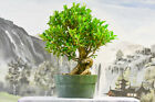 Unique TIGER BARK FICUS Pre Bonsai Tree Incredible Bark Great for Beginners