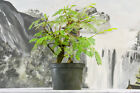 Whirly Trunk TROPICAL MIMOSA Pre Bonsai Tree Fragrant Flowers NO FLORIDA SALES
