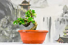 Styled Shohin GREEN GEM Pre Bonsai Tree with Wiring and Nice Trunk Movement