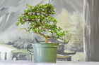 Serpentine Trunk on CHINESE ELM Pre Bonsai Tree Cold Hardy