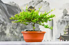 LAST ONE Small Leaf XYLOSMA Pre Bonsai Tree with Chartreuse Green Leaves
